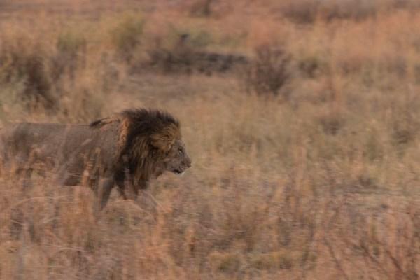 A male lion!!
