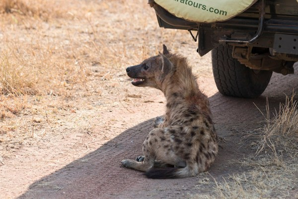 This hyena thought this was the perfect resting place