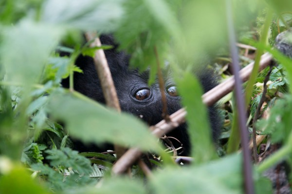 I see you! Baby gorilla watching us tourists