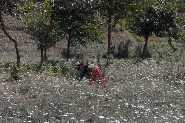 Fields of white daisies - Rwanda