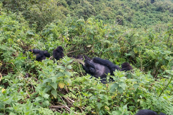 Isabukuru group of gorillas