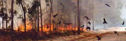 Faucons incendiaires