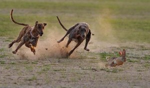 2-dogs-hunting-rabbit
