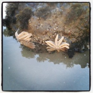 Starfish on Muriwai Beach