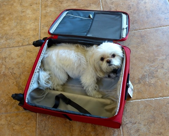 Emy my Shih-Tzu inside my suitcase