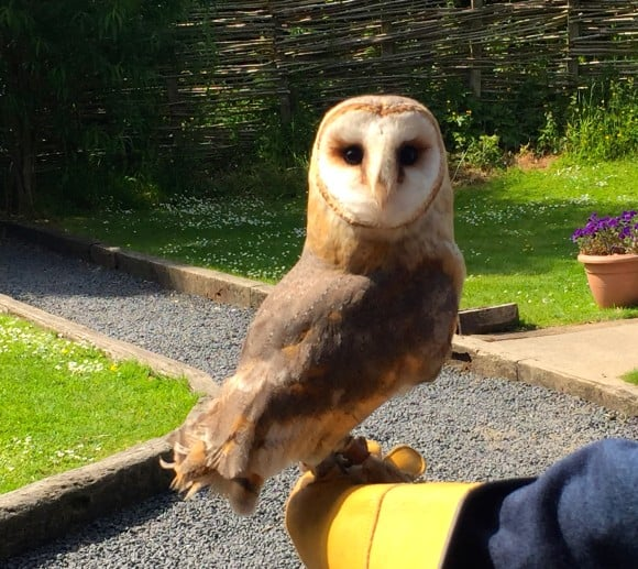 Pickles the owl at The School of Falconry