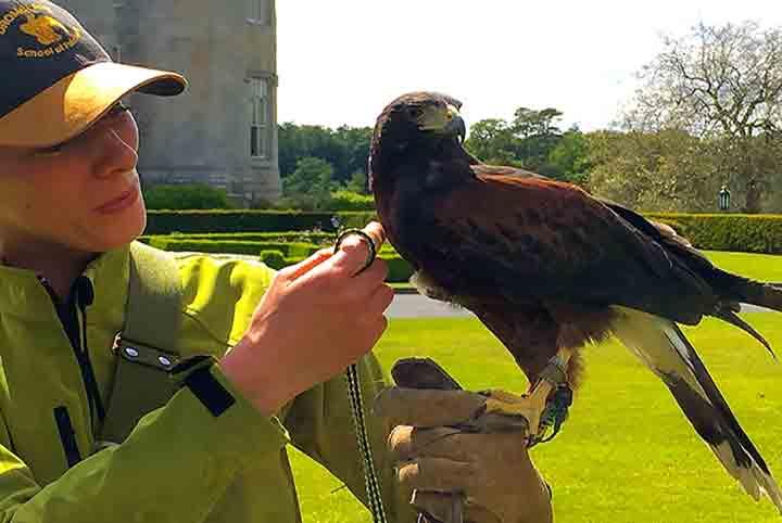 Dromoland Castle's Hawk Walks at The School of Falconry