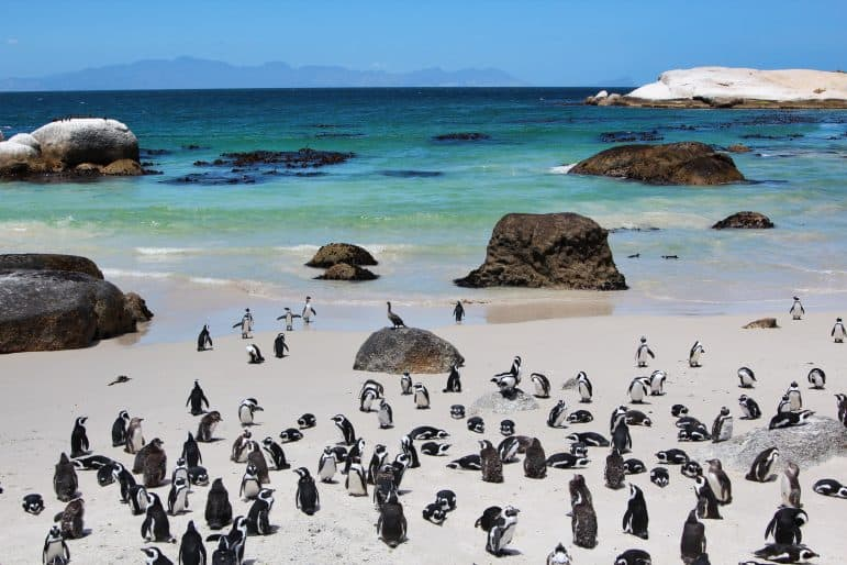African Penguins at Boulder Beach Cape Town