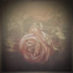 Misty Rose