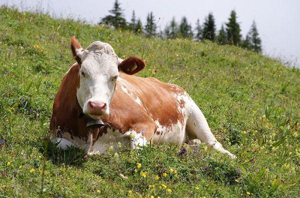 Vaca Simmental Alemana de Baviera.
