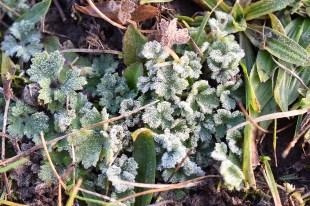 plantes gelées