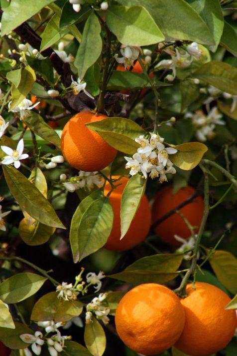 orangeblossom1
