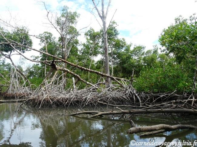 mangrove Martinique
