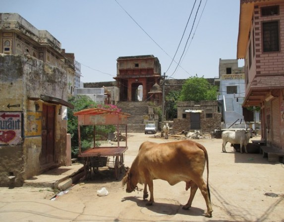 vache rue Pushkar