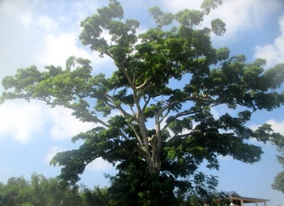 arbre géant Vanuatu