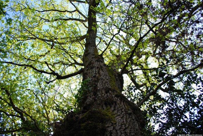 arbre-ste-avoye-pluneret