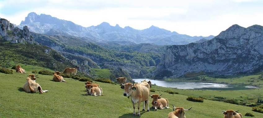 Terneras asturianas pastando en Asturias