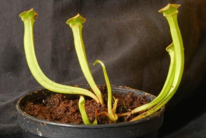 Sarracenia leucophylla Jungpflanze