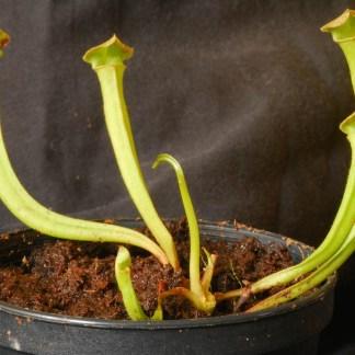 Sarracenia Jungpflanzen
