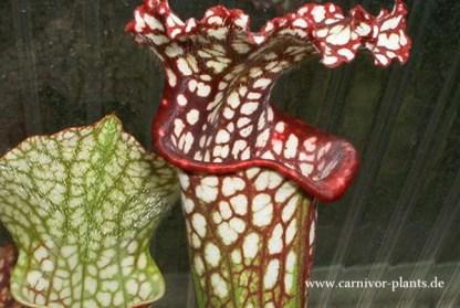 Sarracenia leucophylla optimal