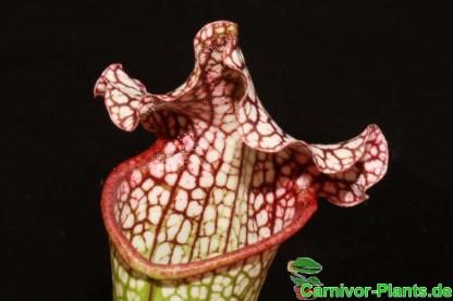 Sarracenia leucophylla Schlauch