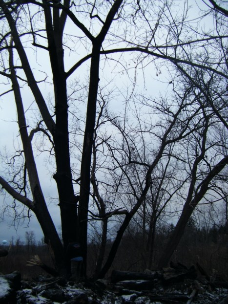 winter trees at dusk