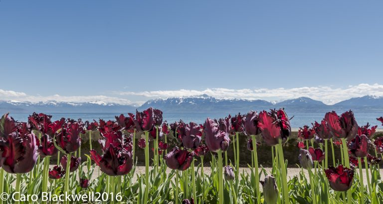 Tulips in Morges - Caro Blackwell Photography