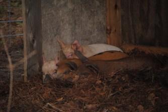 Snuggled in their pig barn.