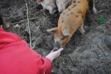 First contact! Pigs love tomatoes.