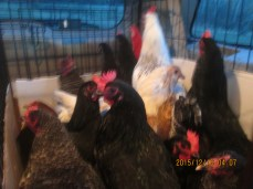 The chickens on the ride home.