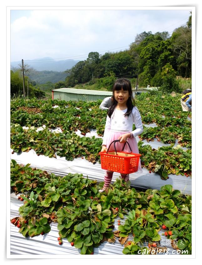 大湖採草莓,大湖無毒草莓,妍美草莓園,採草莓,苗栗大湖,馬拉邦山