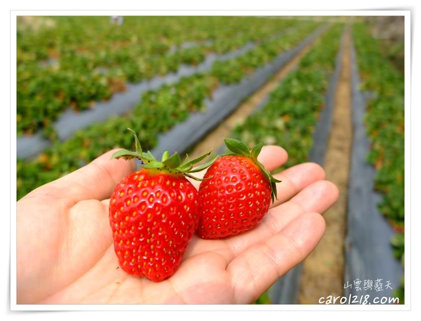 [苗栗大湖]妍美草莓園~馬拉邦山無毒草莓、品質價格俱優