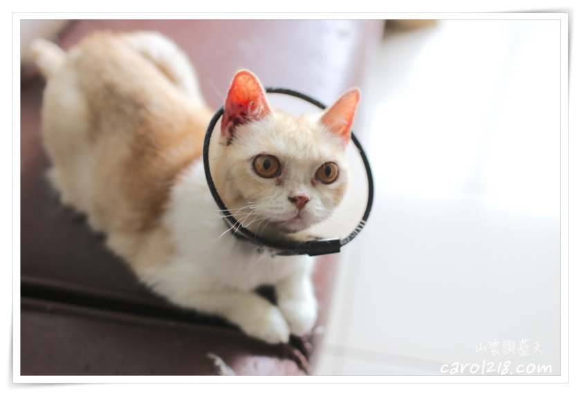 台中寵物餐廳,台中貓中途,台中貓咪餐廳,台中貓餐廳,樂樂咪小廚房,貓餐廳