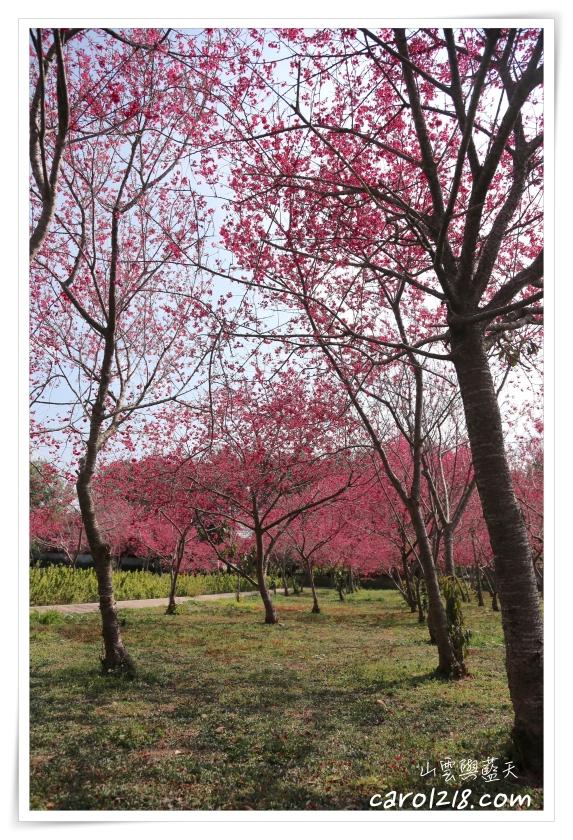 [新社賞櫻]大復街櫻花林,櫻花樹下的野餐(近新社區公所,20210208花況分享)
