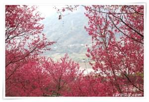 網站近期文章:[新社賞櫻秘境]北天直轄院~走進染了粉霞的山頭,滿山桃紅櫻花樹(白毛台櫻花林)