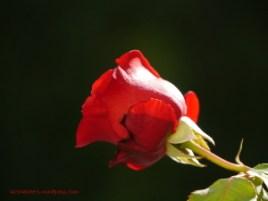 Rose im Garten (c) Carola Peters