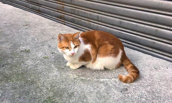 烏來老街的貓