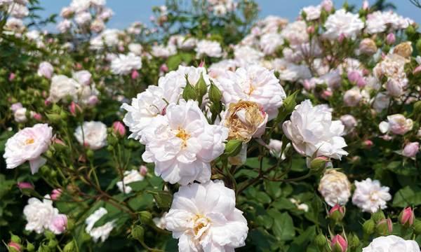 臺北玫瑰園 白玫瑰