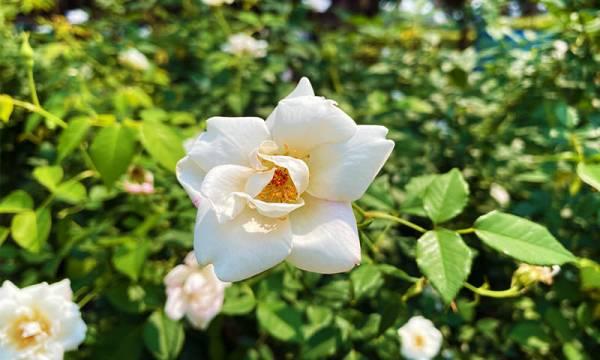 白色的玫瑰花