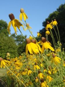 Gray-headed Coneflowers reach for the sky