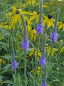 Hoary Vervain with Gray-headed Coneflowers