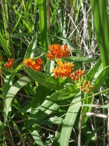 Patience rewarded - Butterfly milkweed, 2014