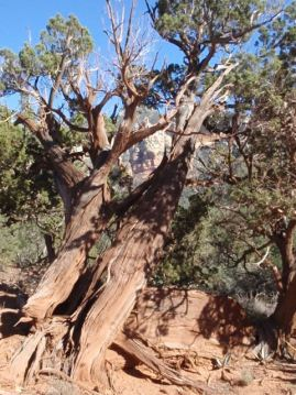 Cyprus tree may be a 1,000+ years old