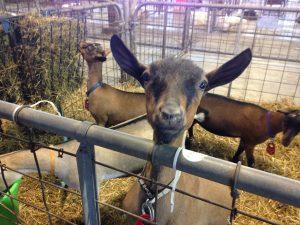 Iowa State Fair Goat