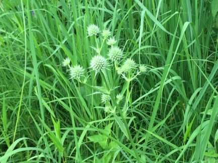 I'm sharing this Rattlesnake Master because I love the make, how weird the plant looks, and it's the first time I've seen it this year. No insects visible. here.