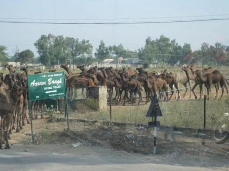 camel herd2
