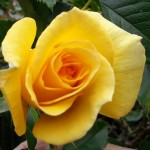 yellow bud cropped