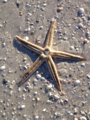 CU starfish