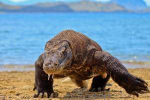 Caution: Komodo dragon