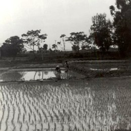 Flooded rice field